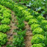 Asociación de Cultivos en el Huerto