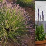 Cómo cultivar lavanda en el jardín, en el huerto o en macetas