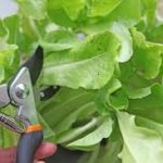 La importancia de podar nuestras hortalizas